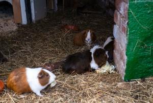 unsere Meerschweinchen Jungs vom Lachmann Hof