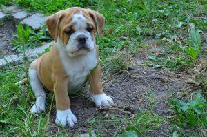 Continental Bulldog,  vom Lachmann Hof in Behrensen