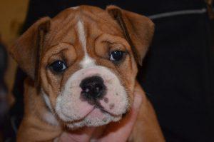 Continental Bulldog, Amala vom Lachmann Hof