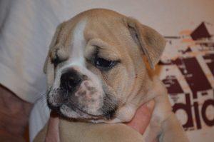 Continental Bulldog, Amoa vom Lachmann Hof