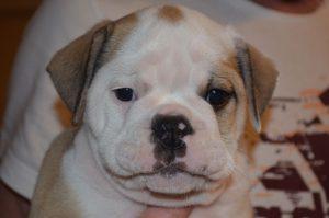 Continental Bulldog, Anni vom Lachmann Hof