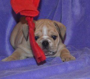 Continental Bulldog, Askan vom Lachmann Hof