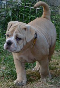 Continental Bulldog, Ayko vom Lachmann Hof