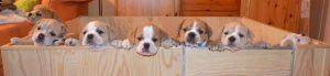 Continental Bulldogs  vom Lachmann Hof in Behrensen