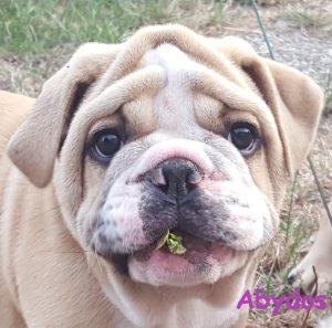 Continental Bulldog vom Lachmann Hof
