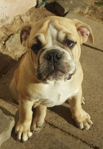 Continental Bulldog vom Lachmann Hof, Amoa