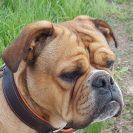 Continental Bulldog vom Lachmann Hof in Behrensen