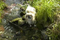 Elysa, Tibet Spaniel vom Lachmann Hof aus Behrensen in Niedersachsen