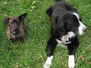 Chase und Buddy vom Lachmann Hof