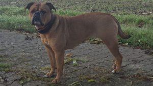 vom Lachmann Hof, Continental Bulldog Bami